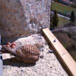 Unser Turmfalkenpärchen (Falco tinunculus) im Kirchturm