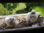 junge Turmfalken (Falco tinunculus) im Kirchenturm